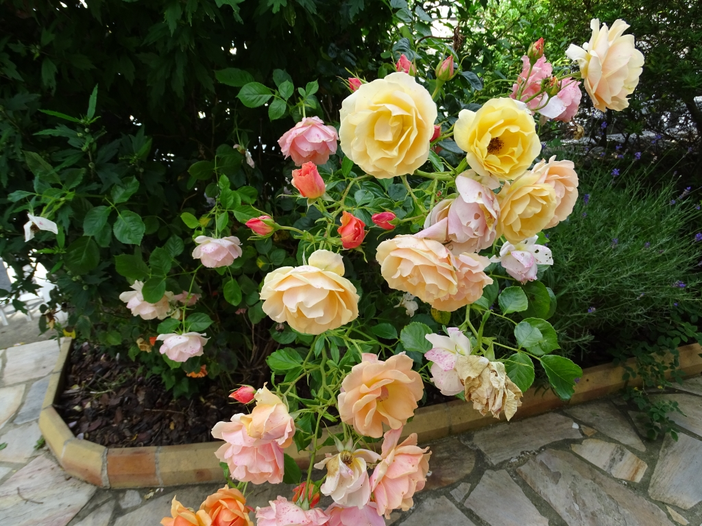 Le génome de la rose décrypté
