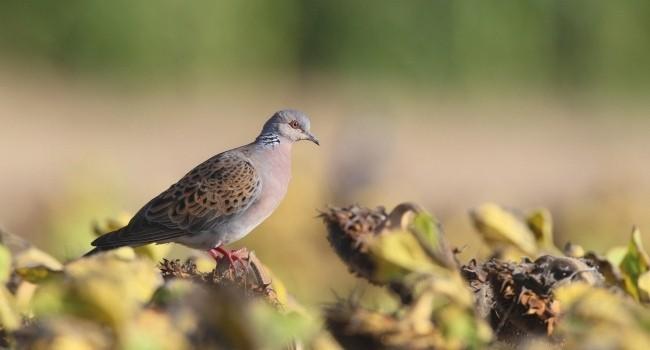 La France est poursuivie par la Commission Européenne pour infraction à la Directive Oiseaux