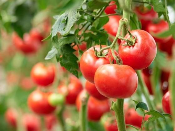 """Virus : """"Tomato brown rugose fruit virus"""""""
