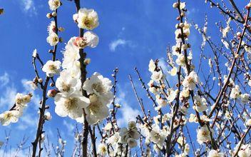 Arrivée précoce du printemps au Parc Hanegi à Tokyo