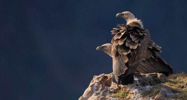 En rando dans le Massif central, les Pyrénées ou les Alpes du sud vous aurez peut etre la chance de l'observer ?