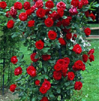 Les rosiers de mon jardin beaux jardins et potagers for Rosier jardin de france