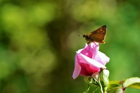 Les Roses de l'Arboretum des Grandes Bruyères