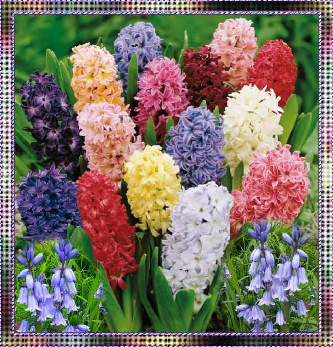 La Fleur du mois d'Avril est la Jacinthe.