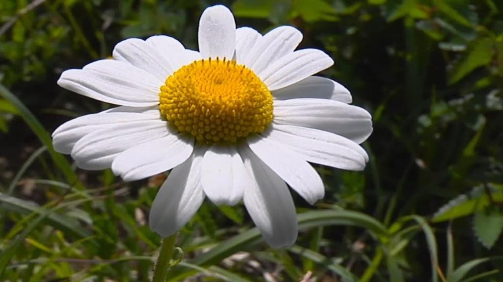 La fleur du Mois est la Paquerette