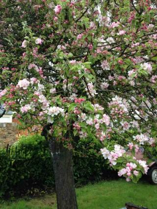L'arbre du Mois d'Aout : Le pommier
