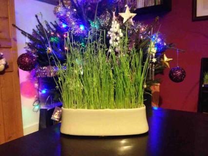 Les blés de la Sainte-Barbe font partie des traditions provençales