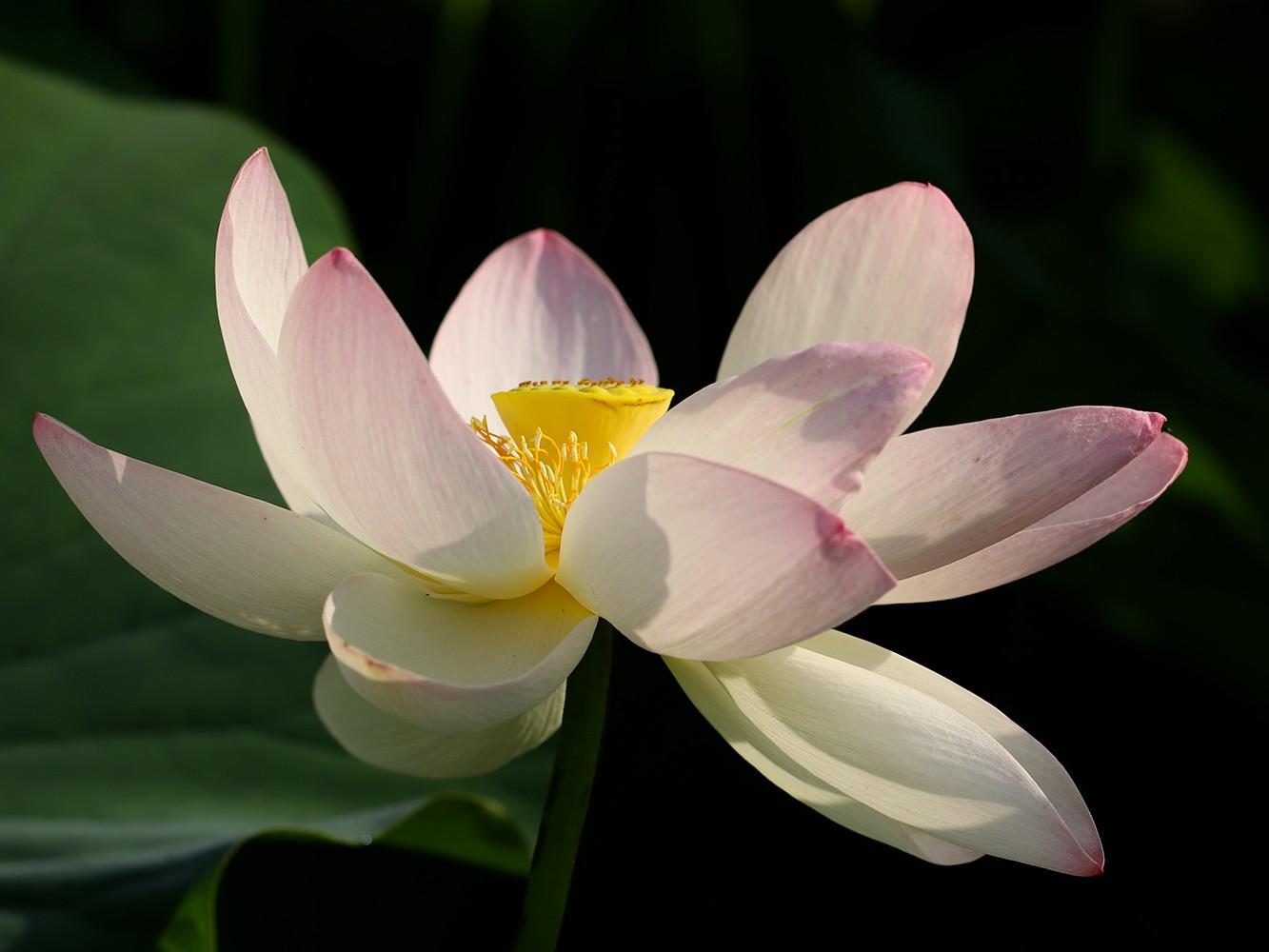 Festival du lotus 2020